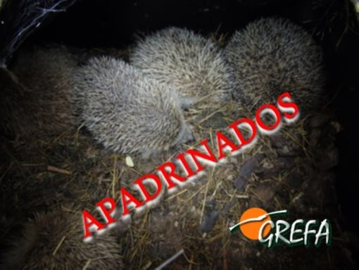 Erizos_apadrinados