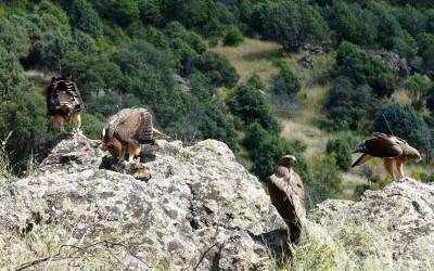 Apoya un proyecto. Águila de Bonelli