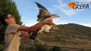 Sergio libera a un águila culebrera rehabilitada por GREFA y que él mismo apadrinó.
