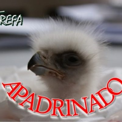 Águila-real_pollo_001_apadrinado