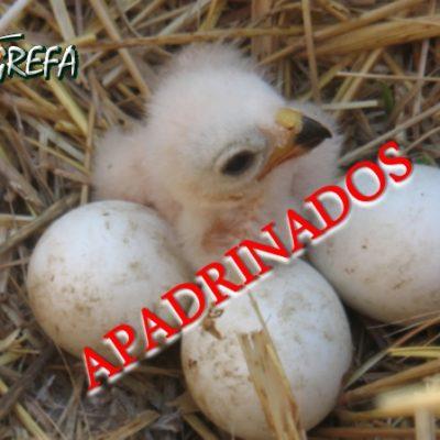 Aguiluchos_nido_001_apadrinado