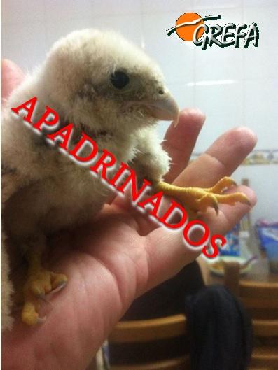 Cernícalo-vulgar_pollo_apadrinados