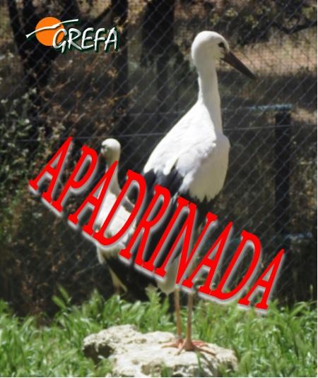 Cigüeña blanca_apadrinada