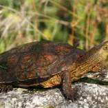 Galapago leproso