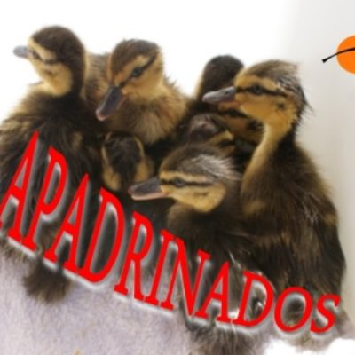 patitos_001_apadrinado