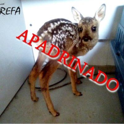 corzino001_apadrinado