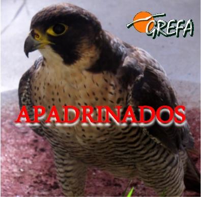halcon_peregrino_apadrinado