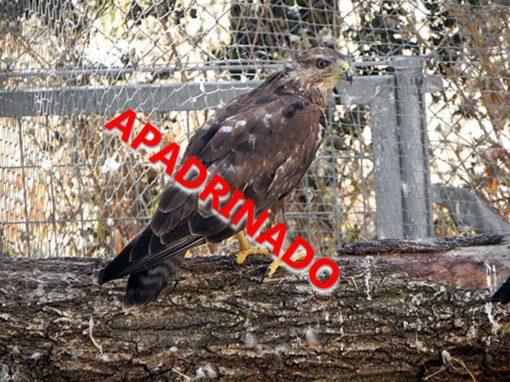 ratonero13_0644_apadrinado