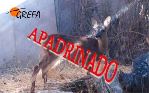 corzo_001_apadrinado