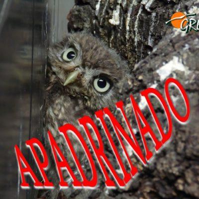 Mochuelo_001_apadrinado