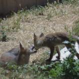 zorros en rehabilitación
