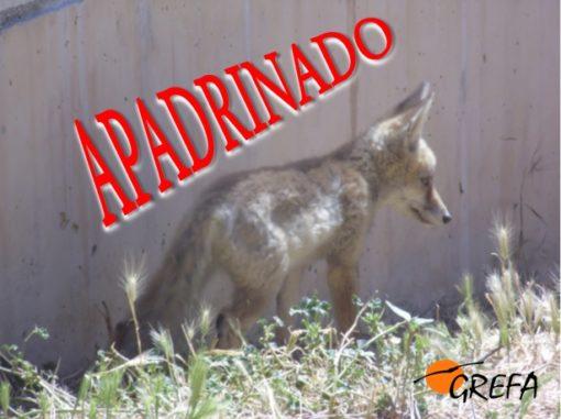 Zorro 16-4549_apadrinado