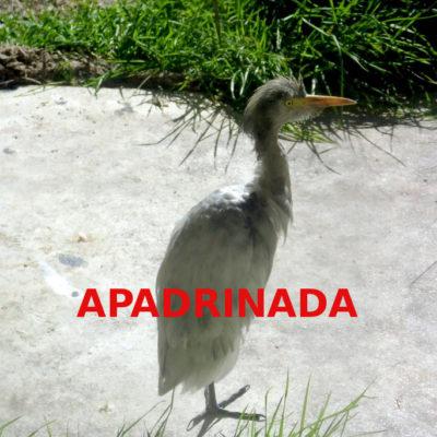 Garcilla-bueyera_apadrinada