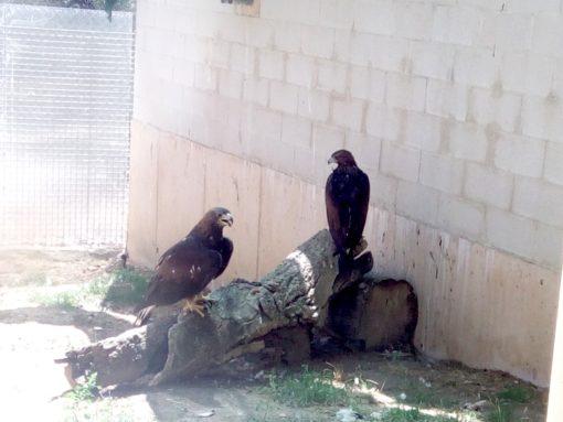 Águilas reales