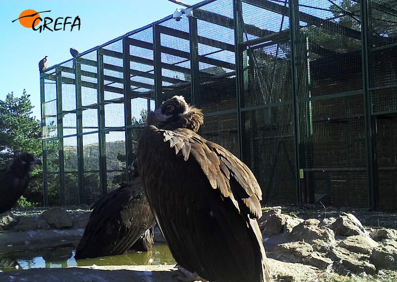 Buitres negros junto al jaulón de aclimatación de la especie instalado en la Sierra de la Demanda.