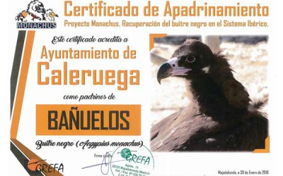El pueblo burgalés de Caleruega apadrina al buitre negro 'Bañuelos' y 'El Diaro de la Ribera' lo cuenta